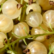 Whitecurrants
